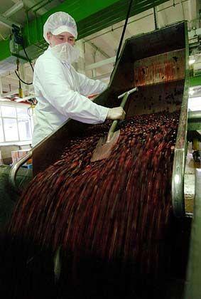 Ladung süßer Früchte: Tiefgefrorene Kirschen werden in der Produktion in einen Kochkessel gefüllt