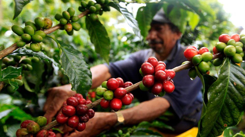 Kaffeeernte in Kolumbien: Viele Farmer agieren angesichts niedriger Abnehmerpreise ständig in Existenznot