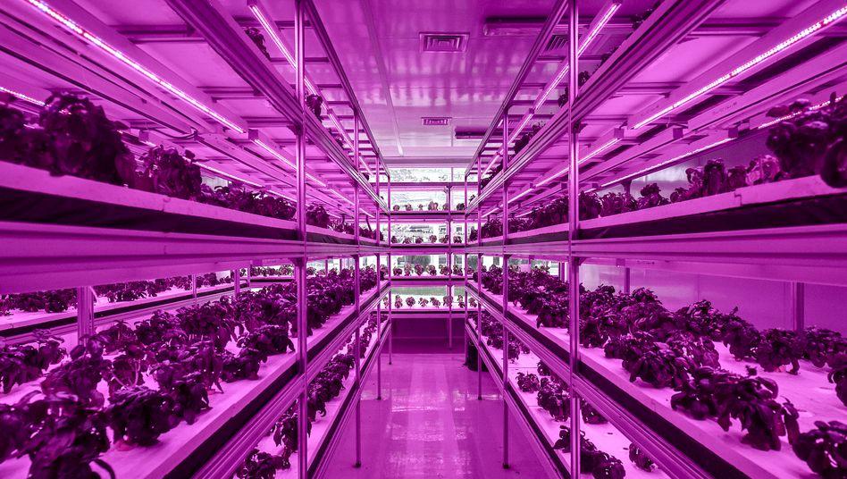 Zucht unter LED: Cofco-Gewächshaus bei Peking.