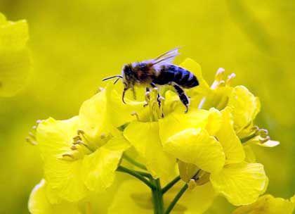 Blühendes Geschäft mit Raps: Aus der Pflanze gewinnt Börsenaspirant EOP günstigen Biodiesel