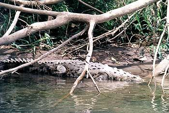 Alles im Blick: Alligator am Ufer des Rio San Carlos