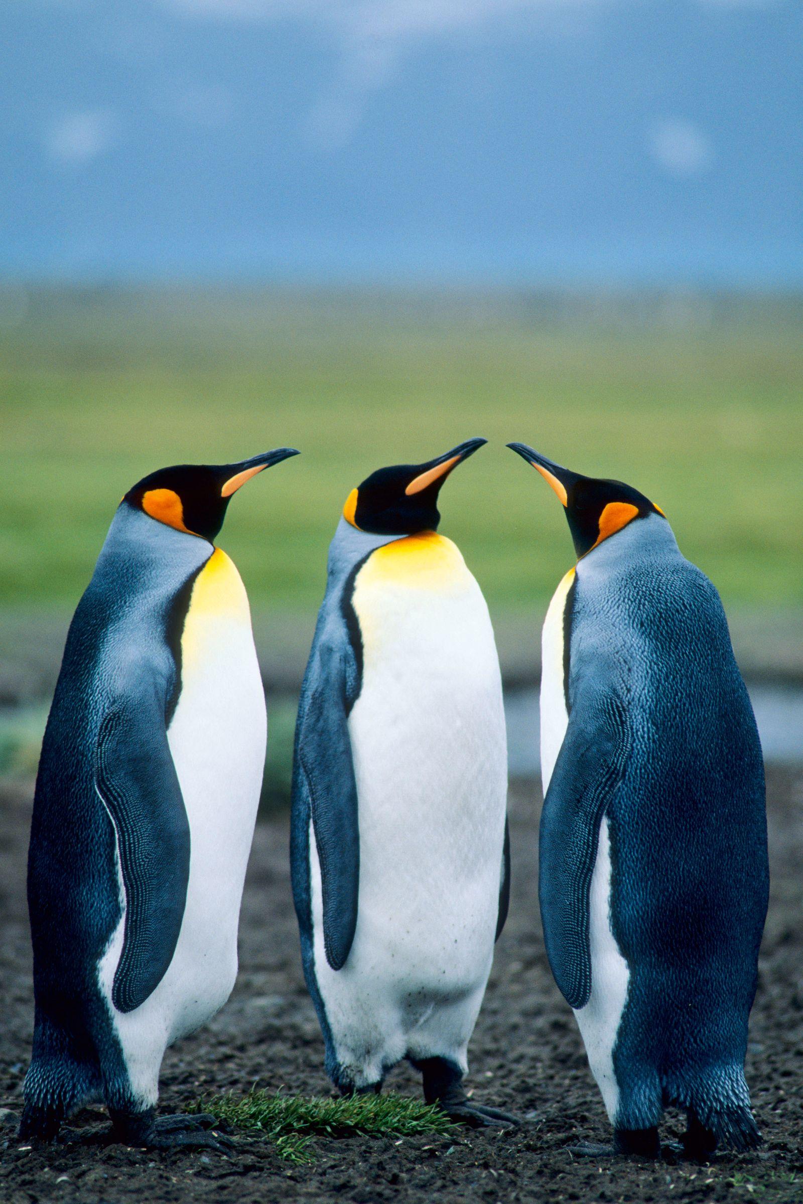 Antarktis - Südgeorgien - Königspinguine