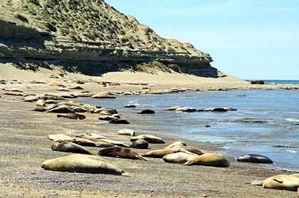 Sonnenbad: Die Seeelefanten-Weibchen auf der Peninsula Valdés sind nicht außergewöhnlich faul, sondern müssen mit ihren kostbaren Fettreserven haushalten