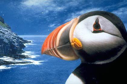 Für Ornithologen gibt es viel zu sehen: Vor allem im Osten Neufundlands locken Vogelparadiese, in denen sich unter anderem Papageientaucher zu Tausenden tummeln