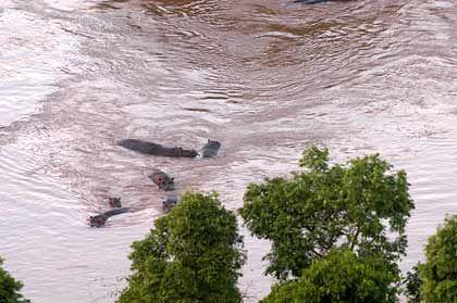 Nilpferd-Kolonie: Morgenbad im Mara-Fluss