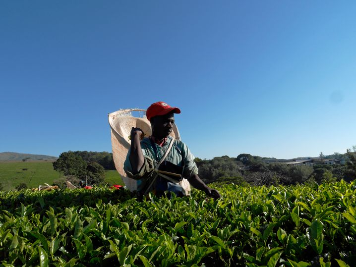 Teepflücker: Auf der Plantage Satemwa arbeiten 1600 Erntehelfer