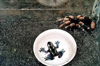 Farbenpracht gepaart mit Wehrhaftigkeit: Einige der zahlreichen Froscharten in Costa Rica sind giftig