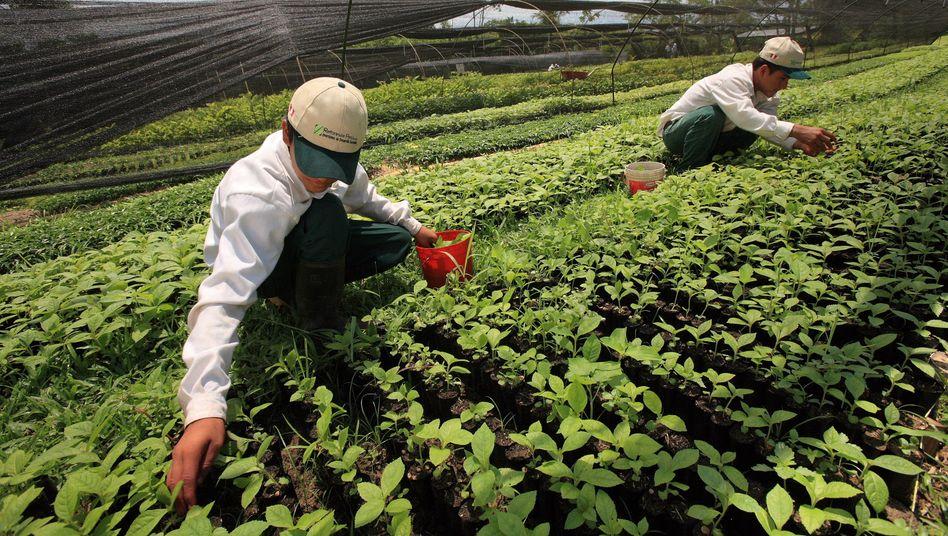 Zucht junger Bäume in Peru: Nestlé will sein Wiederaufforstungsprogramm in Ländern, aus denen es Rohstoffe für die Produktion bezieht, deutlich ausweiten