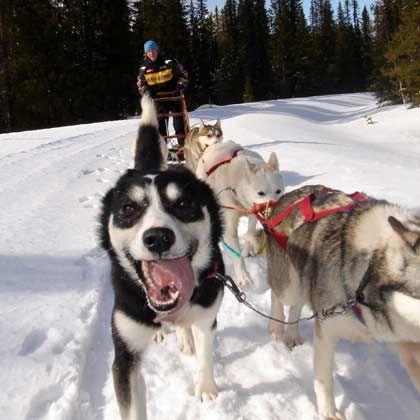 Ein Hundeleben: Wer nicht fliegen will, kann auch Huskyschlitten fahren