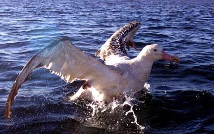 Albatross: Die Tiere können Flügelspannweiten von über 350 cm erreichen und übertreffen damit jede andere lebende Vogelart