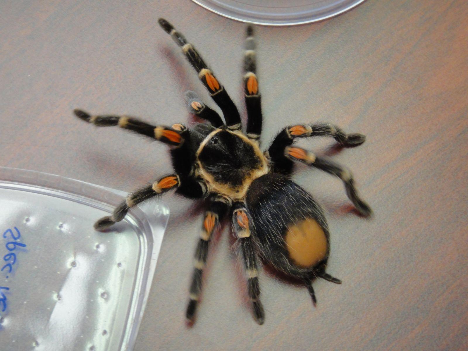 Deutscher Spinnen-Schmuggler in den USA festgenommen