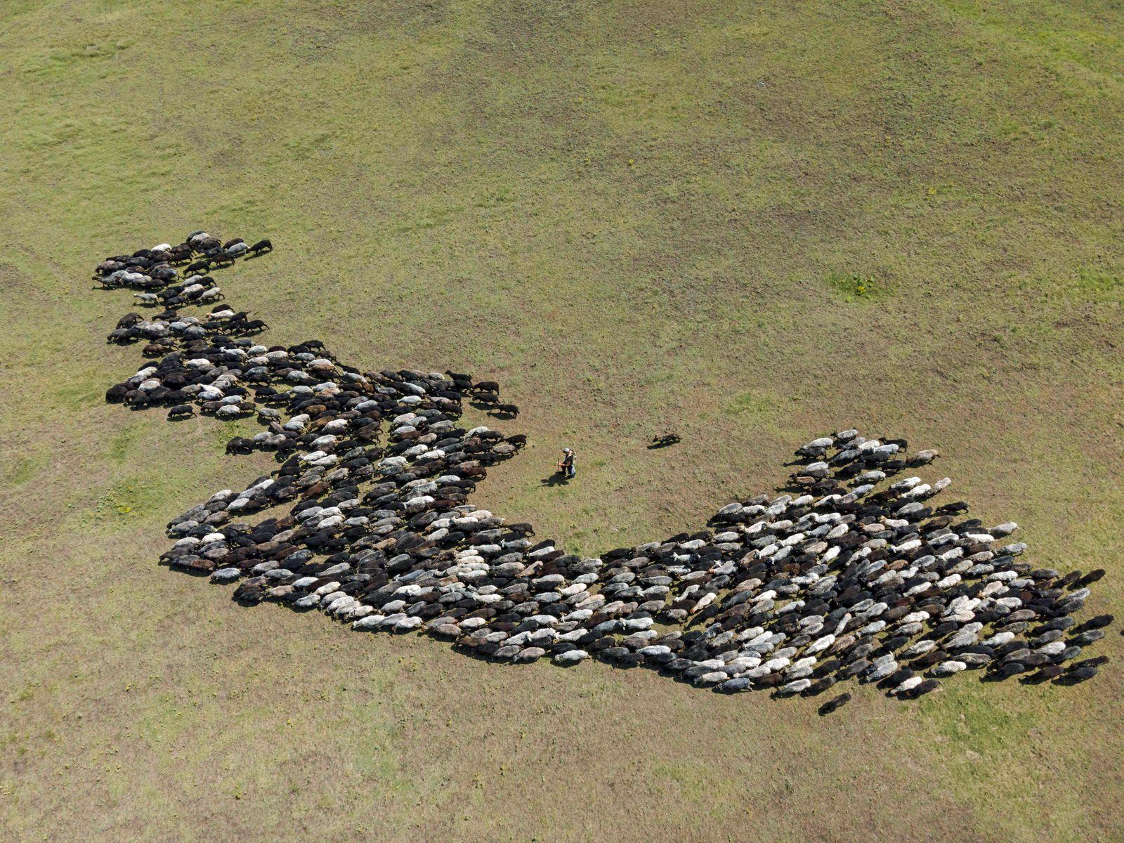 Luftaufnahme, Schafherde weidet in Steppe, Tarutino Steppe, Oblast Odessa, Ukraine, Europa *** Aerial view, Flock of she