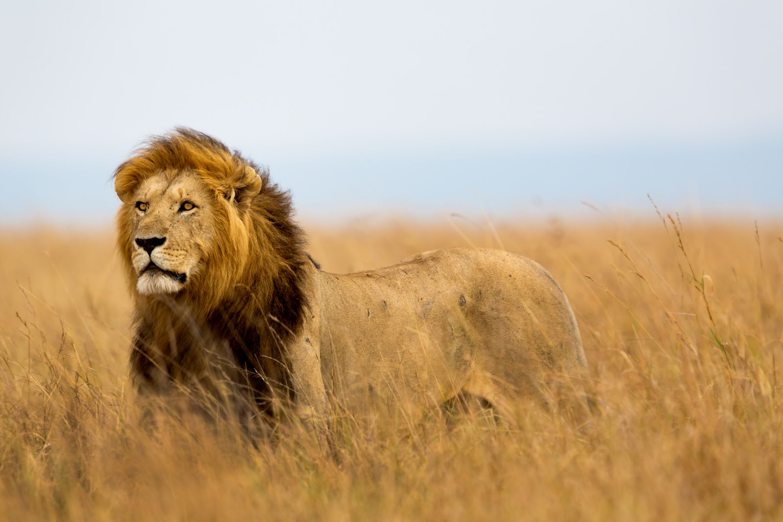 Mighty Lion watching the lionesses