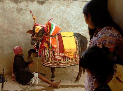 Die Verkörperung der Wiedergeburt: In Indien gelten Kühe als heilige Tiere und dürfen machen, was sie wollen