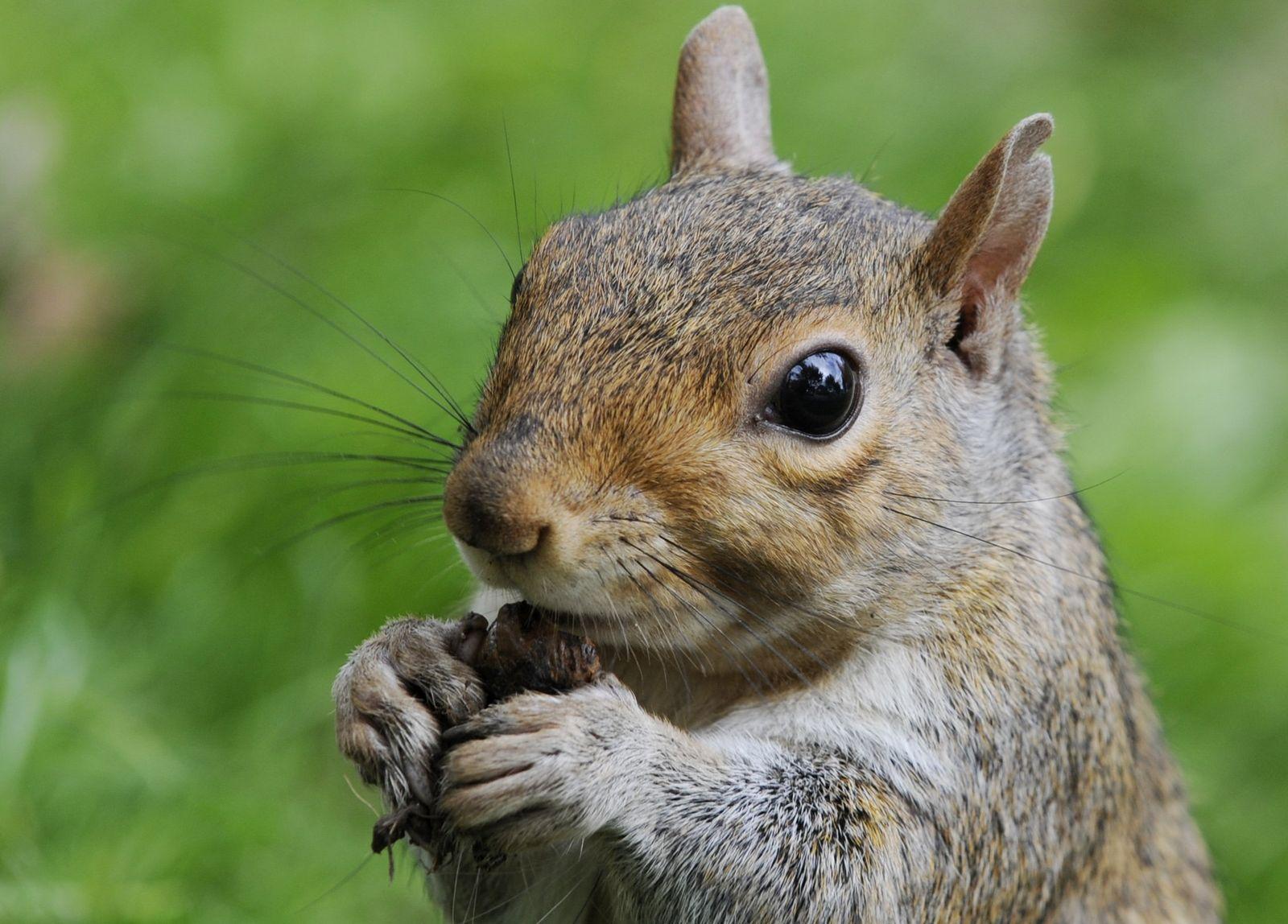 Eichhörnchen in Washington