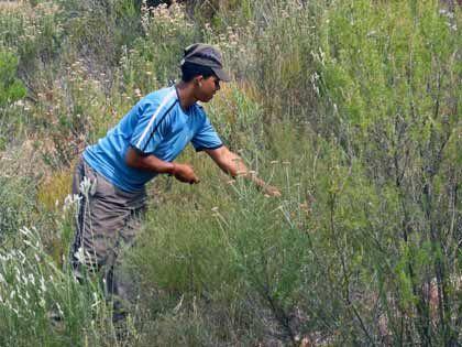 Mühevolle Kleinarbeit: Nur erwachsene Pflanzen, die schon geblüht haben, dürfen vorsichtig mit der Sichel abgeschnitten werden