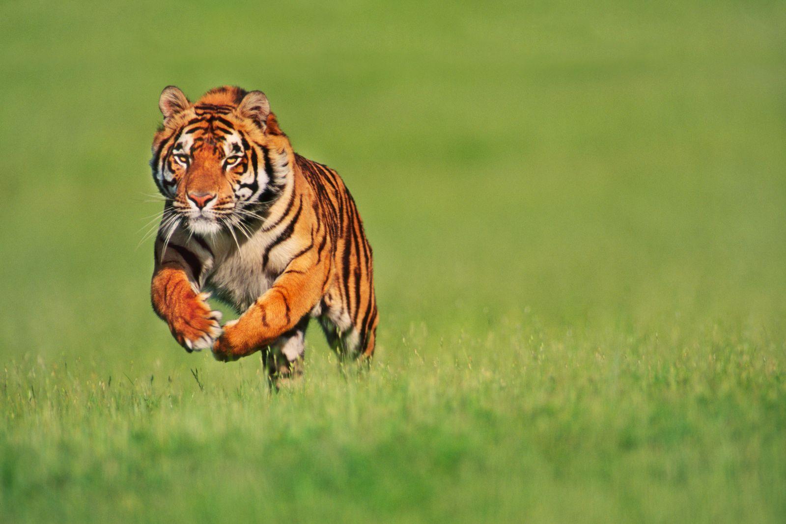 NICHT MEHR VERWENDEN! - Indischer / Bengalischer Tiger / Indien / Raubkatze