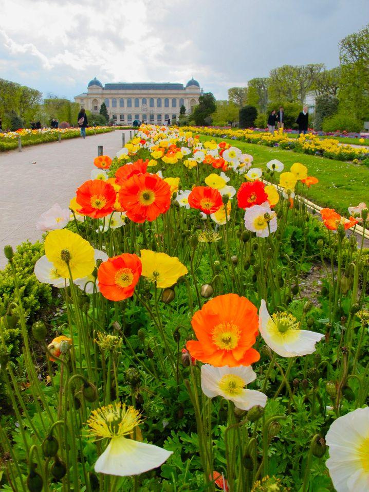 Wie Tupfen auf einem impressionistischen Gemälde: So wirken im Frühjahr die malerischen Mohnblumenbeete im Jardin des Plantes von Paris.