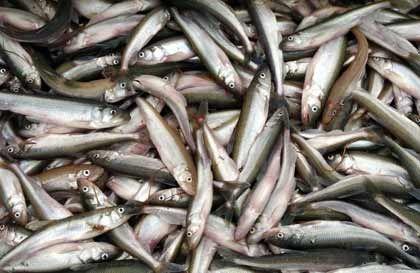 Gourmet-Schmaus: Der 20 Zentimeter lange Stint gehört zu der Familie der Lachse