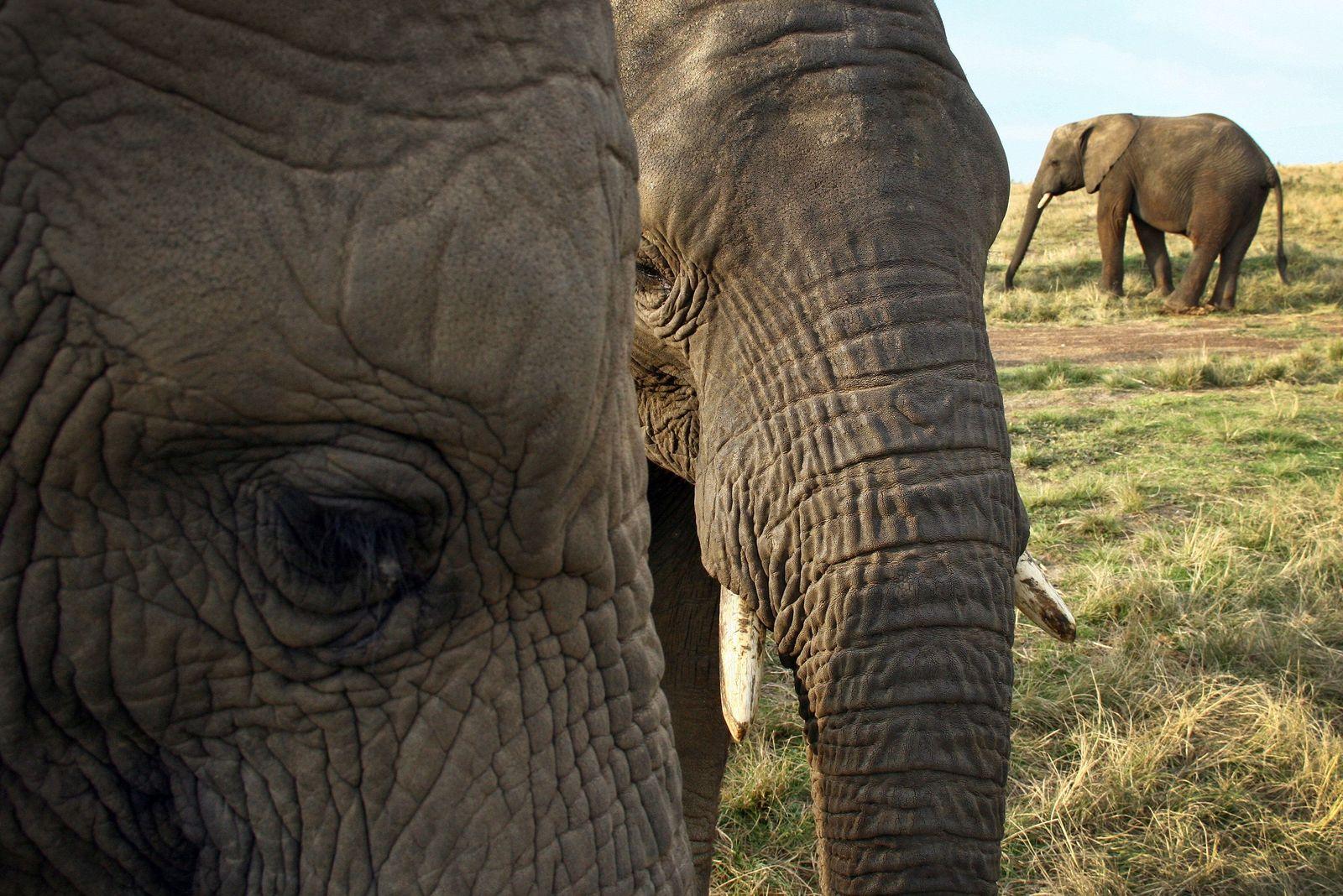 Elefanten / Südafrika