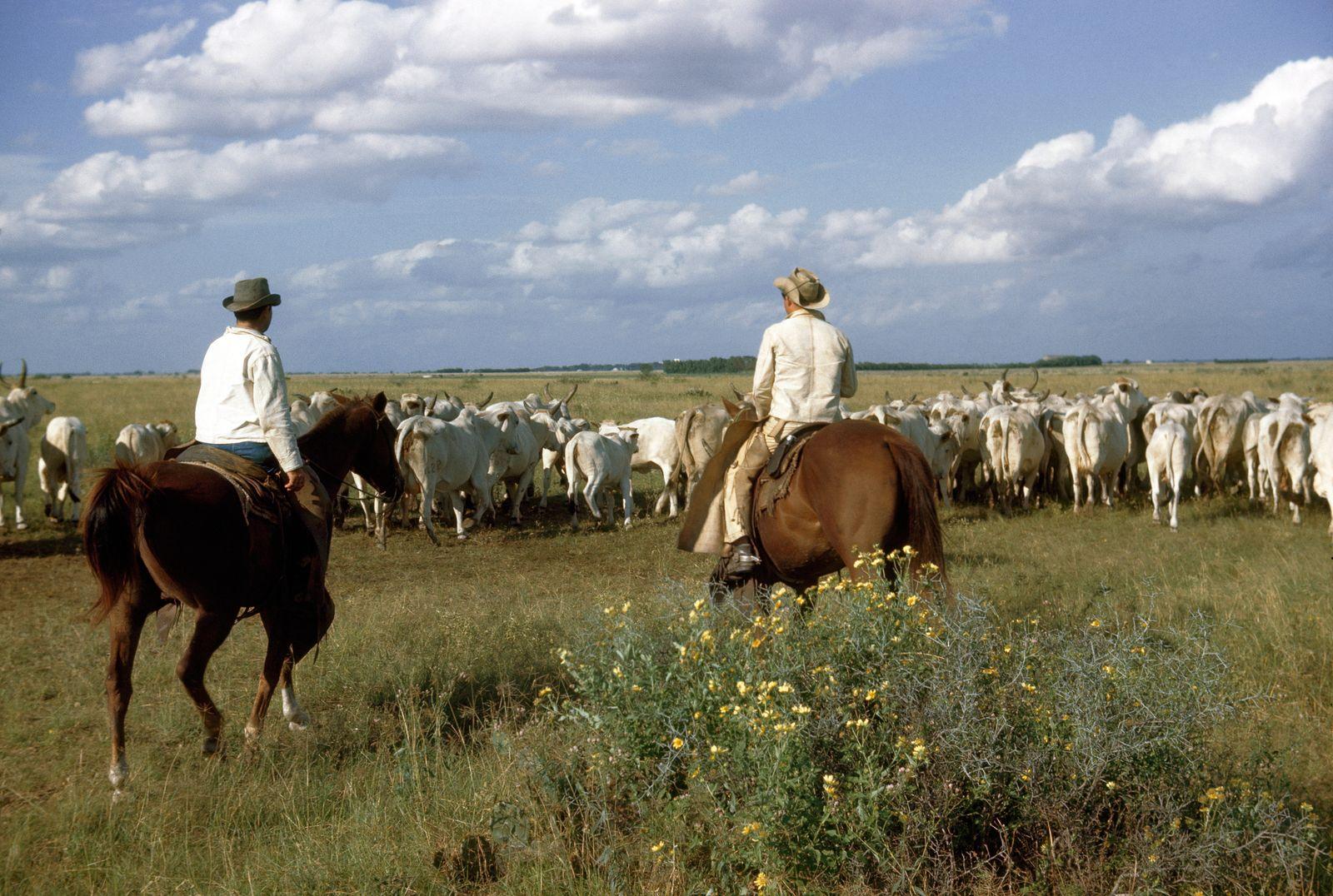 NICHT MEHR VERWENDEN! - Texas / Cowboys / Rinder