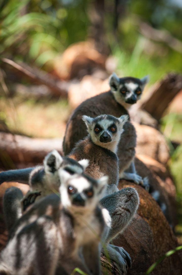 Madagaskar ist bekannt für seine Lemuren - in Sachen Tierwelt hat die Insel Touristen einiges zu bieten.