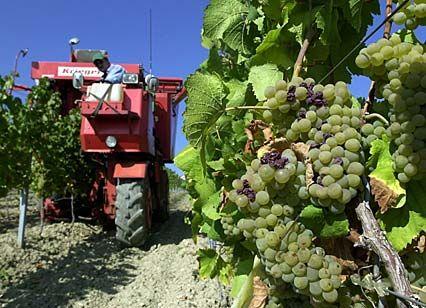 Prächtige Qualität: Weinlese in Italien