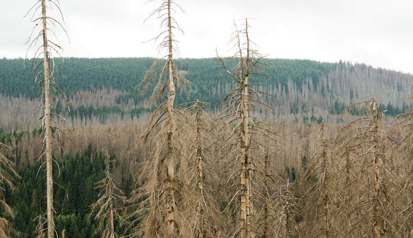 Borkenkäfer im Harz
