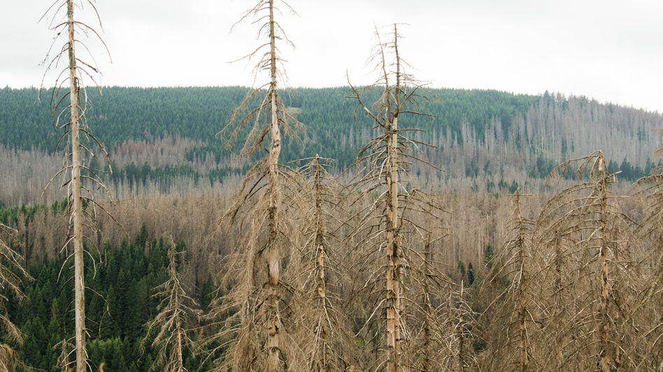 Ein von Borkenkäfern befallener Wald im Harz (Archivaufnahme)
