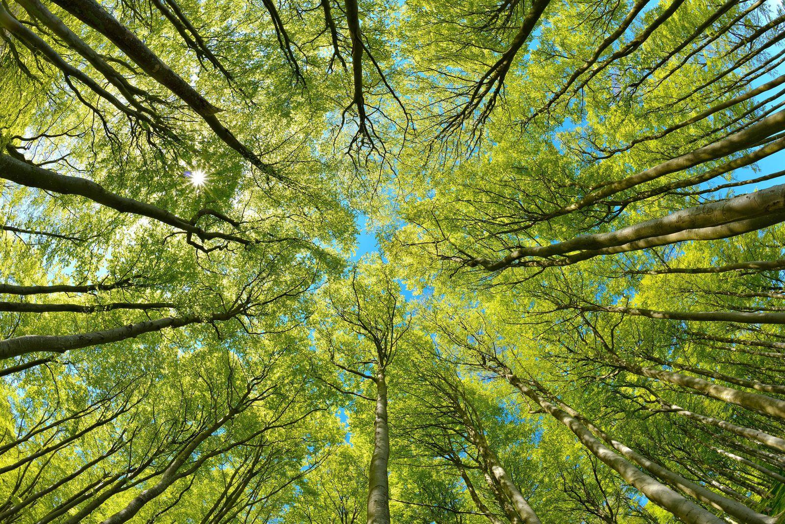 Naturnaher sonniger Buchenwald im Frühling, Blick in die Baumkronen, frisches Grün, blauer Himmel, Sonne strahlt durchs