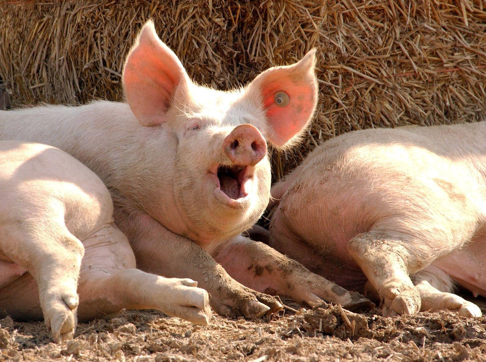 Schweinerei (Kopie)
