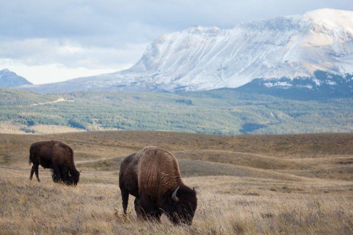 Weites Land: Auch Büffel lassen sich in den einsamen Landschaften von Waterton Lakes beobachten.