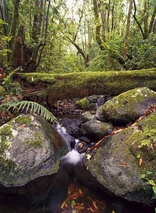 Seltenheit: Auf La Gomera gedeiht der größte zusammenhängende Lorbeerwald der Welt