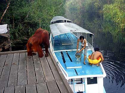 Warten auf Gäste: Schon an der Anlegestelle der Flussboote können Urlauber auf Oran-Utans treffen
