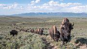 Büffelauge um Büffelauge – der Erbstreit der Haubs