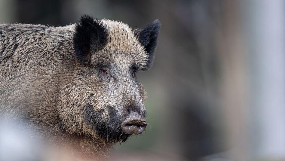 Wildschwein im Nationalparkzentrum Lusen
