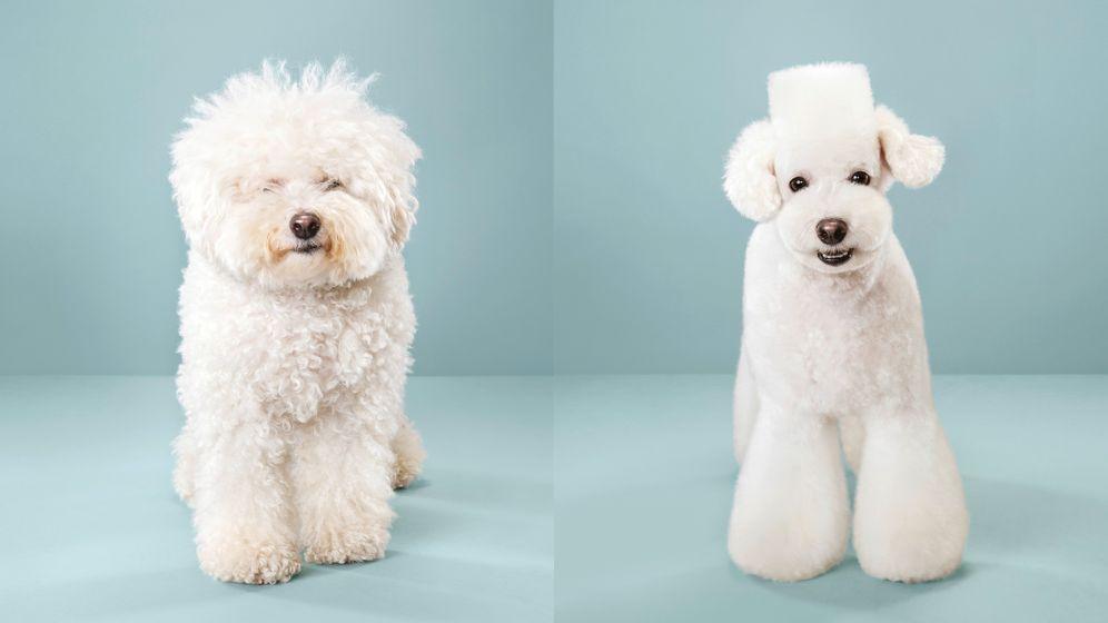 """Die Bilder stammen aus aus der Serie """"Hairy"""": Die Fotografin Grace Chons hat Vorher-nachher-Fotos von Hunden, die einen Haarschnitt im japanischen Stil erhielten."""