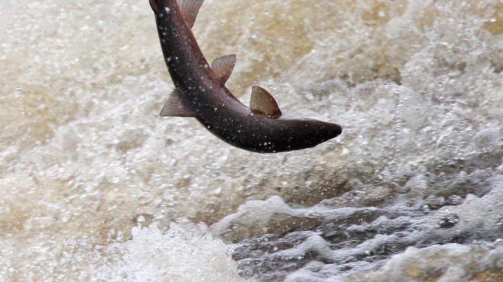 Arten, Aufzucht, Zubereitung: Das Lachs-Einmaleins