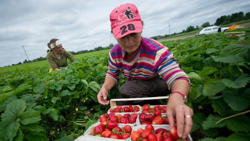 Erdbeerernte in Bayern: Schlechte Ernte sorgt für höhere Preise