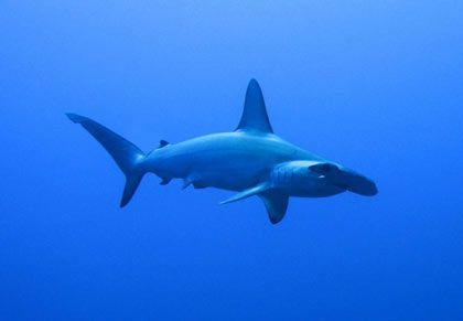 Für viele Taucher die schönsten Räuber: Begegnungen mit Hammerhaien sind an den wenig betauchten sudanesischen Riffen keine Seltenheit