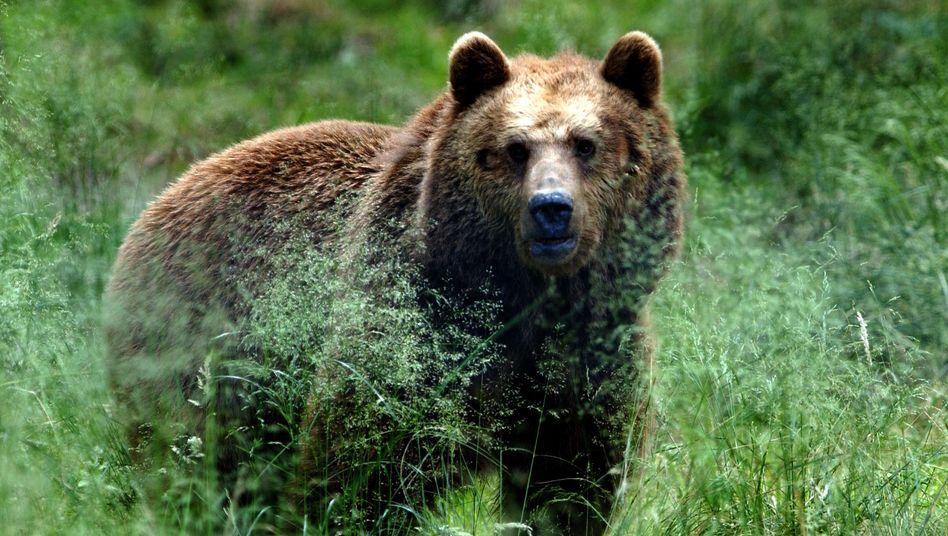 Im Zeichen des Bären: Die Aktienkurse sind in Deutschland stärker abgerutscht als in Frankreich oder Großbritannien
