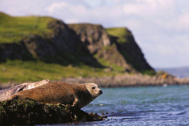 Auch Seehunde lassen sich auf Rathlin gut beobachten.
