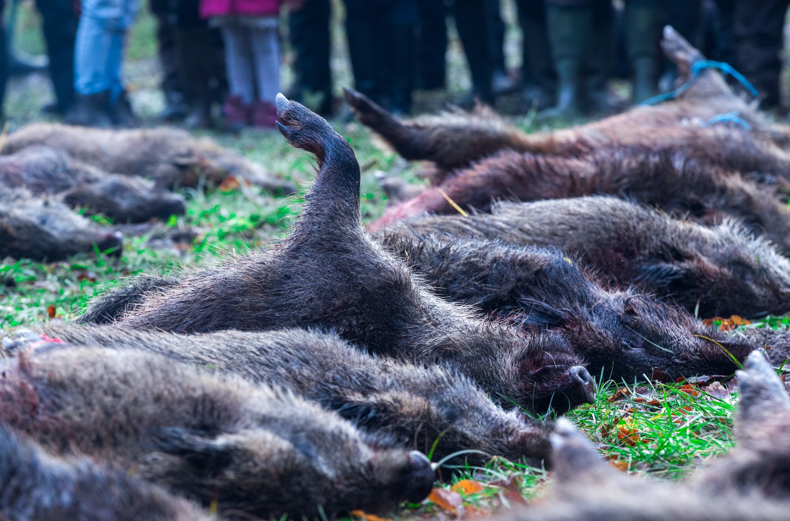 Wildschweinjagd gegen Schweinpest