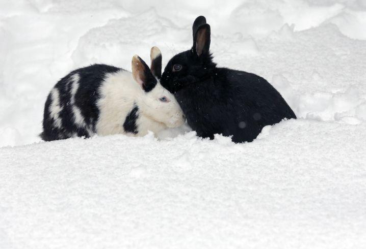 Wer wird zuerst gefressen? Richtig, das deutlich zu sehende Kaninchen rechts