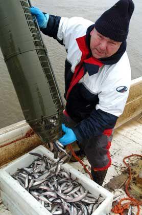 Frischer Fang: Stint ist zurzeit eine rare Delikatesse