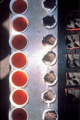 Große Spannbreite: Geschmack und Farbe des Tees sind abhängig von der Sorte, der Plantage und der Erntezeit