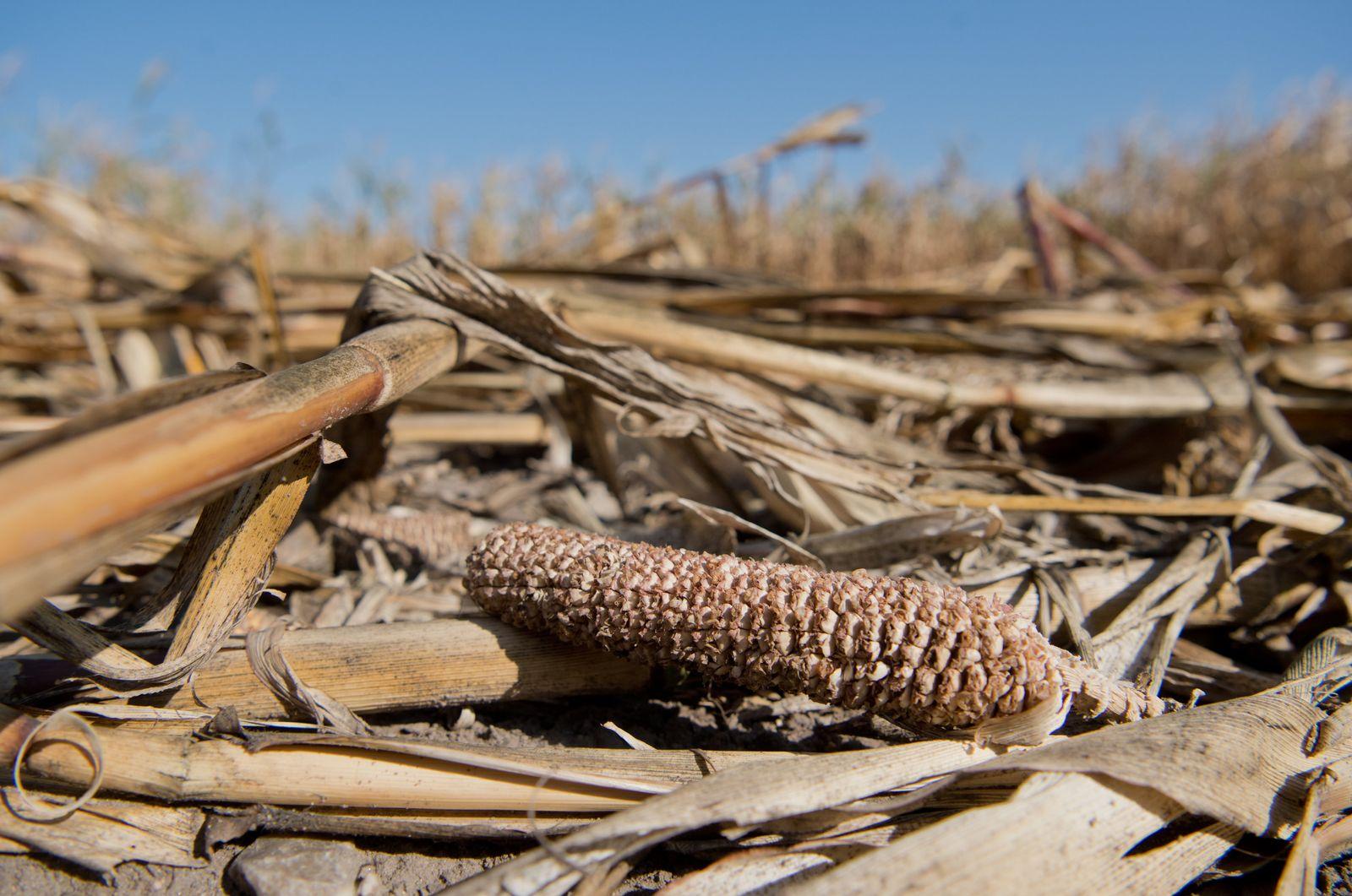 Dürre in Deutschland / Getreideernte