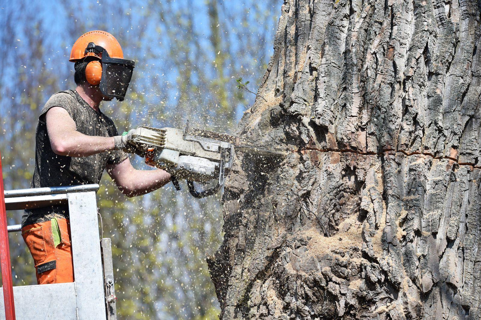 Alten Baum f?llen *** Cutting down old trees 1038804107