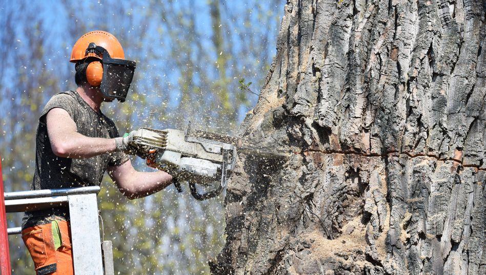 Hohe Nachfrage: Baumfäller bei der Arbeit