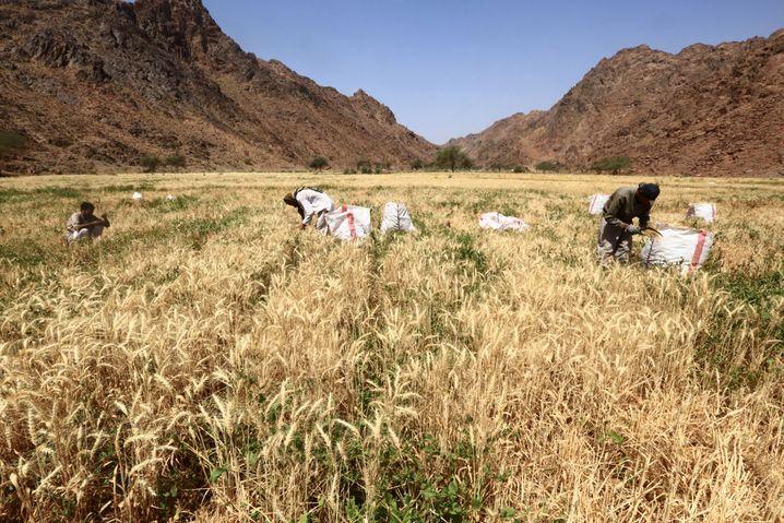 Weizenanbau in Saudi-Arabien: Die Landwirtschaft als Vorzeigebranche?